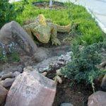 Игуана на каменной горке...